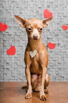 Cão chihuahua pequeno bonito rodeado de corações