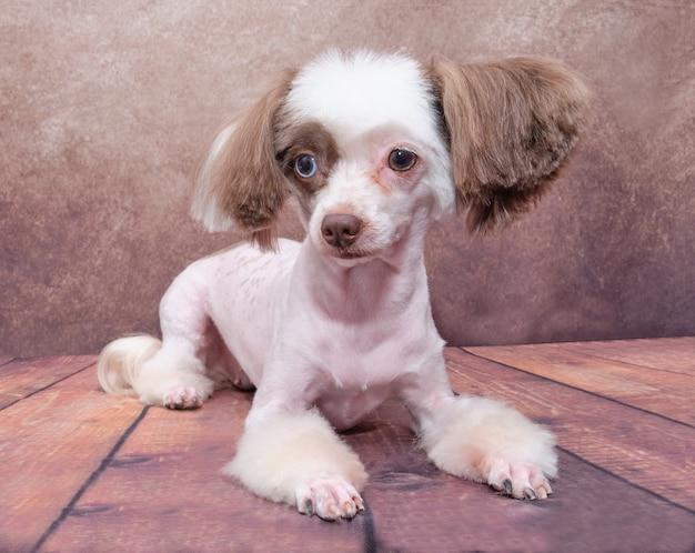 Cão chinês de crista branco com orelhas marrons, deitado no chão de tábua em um antigo