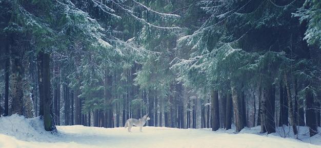 Cão cinzento raça husky fica na floresta de inverno, árvores de natal e caminhos cobertos de neve.