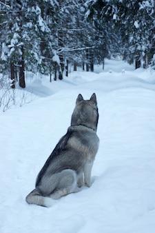 Cão cinzento raça husky sentado em uma trilha em um parque nevado pela manhã e olhando para a distância, visível nas costas e na cauda.