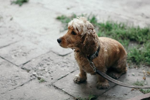 Cão cocker spaniel no parque