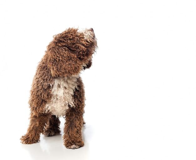 Cão com encaracolados cabelos castanhos uivo
