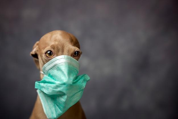 Cão com máscara de proteção contra coronavírus