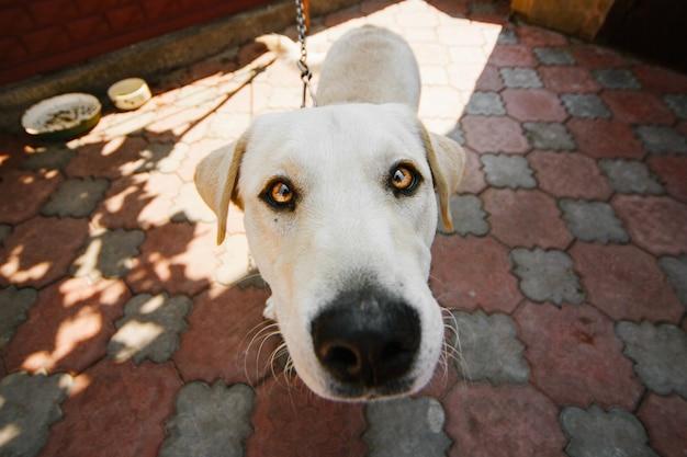 Cão com olhos amarelos profundos fica na corrente