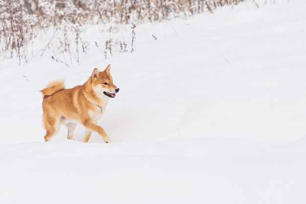 Cão com pedigree de brown que anda no campo nevado. shiba inu