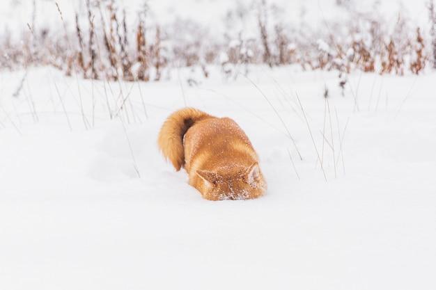 Cão com pedigree de brown que joga com neve em um campo. shiba inu. cão bonito