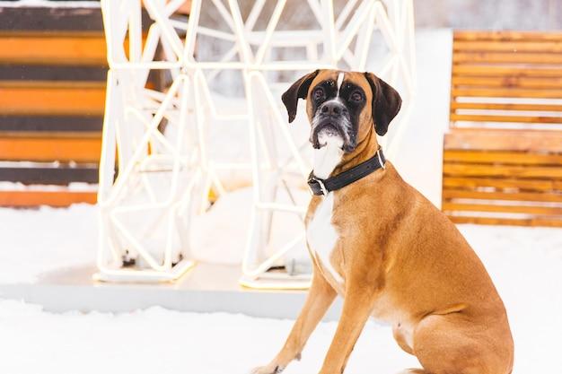 Cão com pedigree de brown que senta-se na neve. boxer. cão caçador lindo