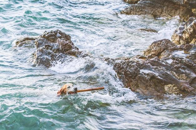 Cão com um pau nos dentes nada no mar