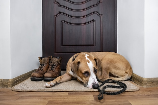 Cão com uma trela, à espera de uma caminhada. cão staffordshire terrier com uma trela deitada em um capacho perto da porta da frente do apartamento.