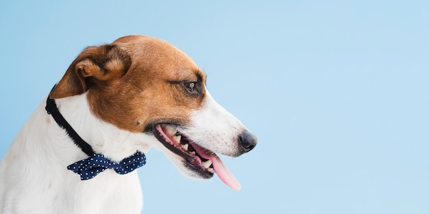 Cão companheiro com arco e língua para fora