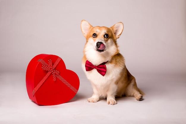 Cão corgi com uma caixa de presente vermelha em forma de coração e uma rosa vermelha em uma parede branca