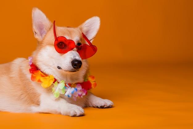 Cão corgi em óculos de sol e miçangas havaianas em fundo amarelo