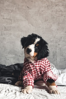Cão da montanha bernese fofo com camisa vermelha no cobertor