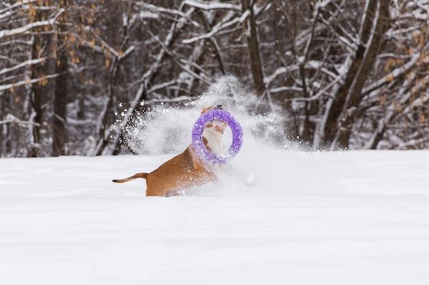 Cão da pedigree de brown que joga com o brinquedo redondo na neve em uma floresta. staffordshire terrier