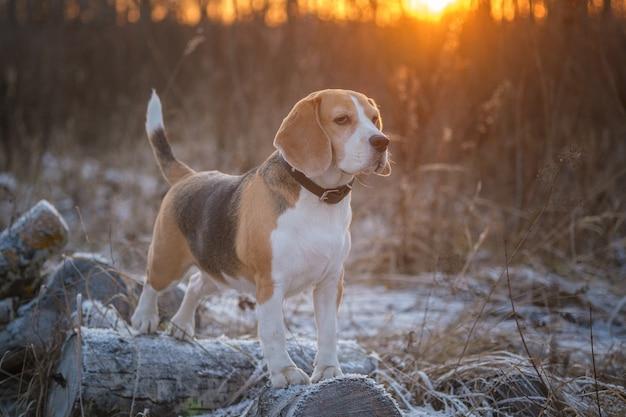 Cão da raça beagle para um passeio no parque de inverno à noite, ao fundo de um belo pôr do sol