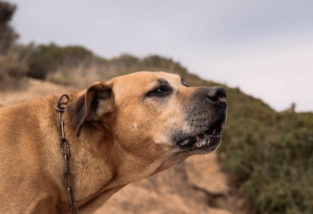 Cão da raça cimarron uruguaio caça em campo conceito de caça grosso