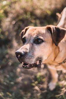Cão da raça cimarron uruguaio, velho e pardo, em dia de sol no parque.