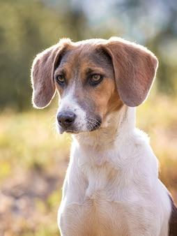 Cão da raça estonian hound em cores quentes de outono_