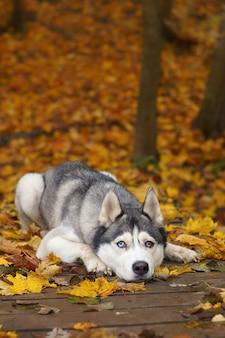 Cão da raça grey husky deitado sobre uma ponte de madeira no parque de outono