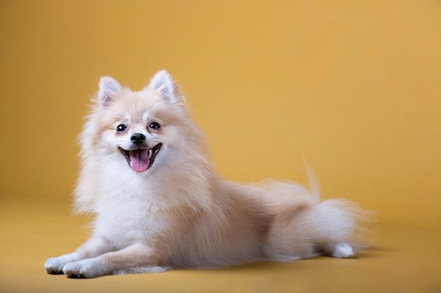 Cão da raça pomeranian deitado com a cabeça levantada e a língua de fora
