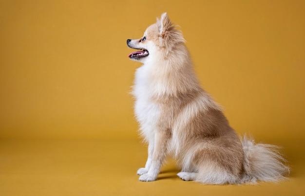 Cão da raça pomeranian sentado e olhando para a esquerda