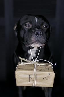 Cão da raça staffordshire bull terrier, preto, carregando caixa de presente
