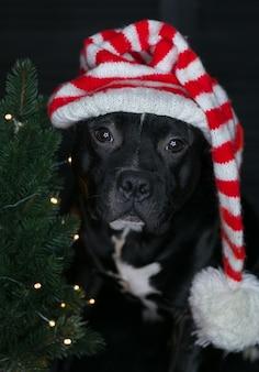 Cão da raça staffordshire bull terrier, preto, com chapéu de papai noel