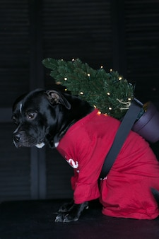 Cão da raça staffordshire bull terrier, preto, vestindo uma camisa e carregando a árvore de natal