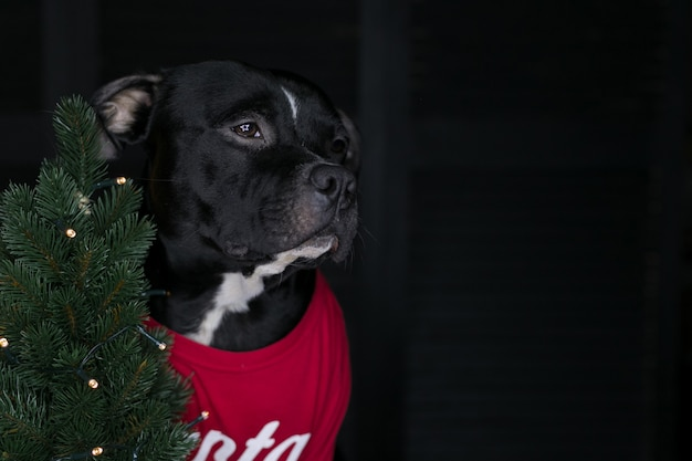 Cão da raça staffordshire bull terrier, preto, vestindo uma camisa