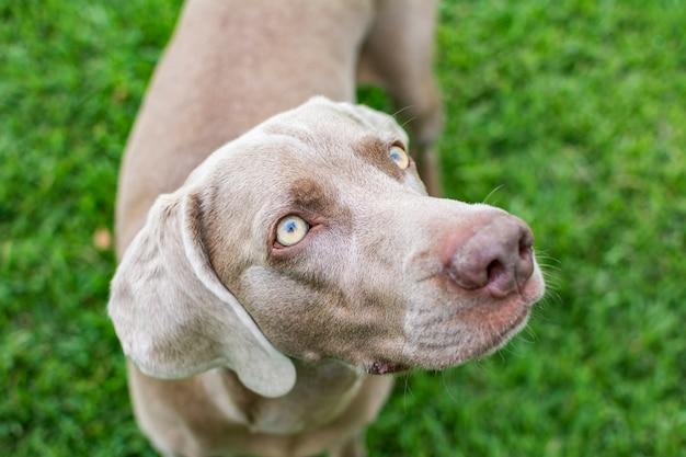 Cão da raça weimaraner com olhos claros bonitos e brilhantes