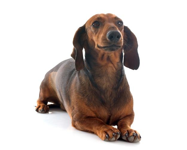 Cão dachshund