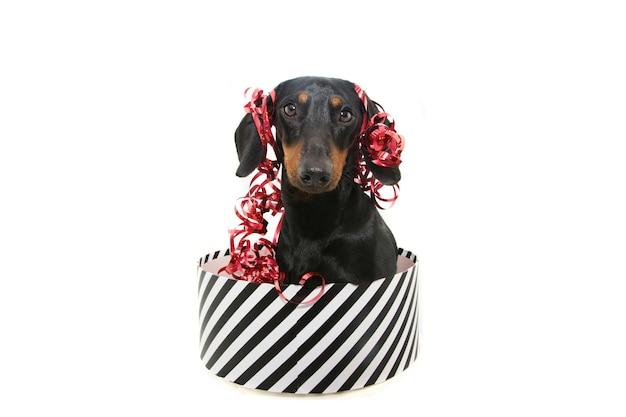 Cão dashchund presente no natal
