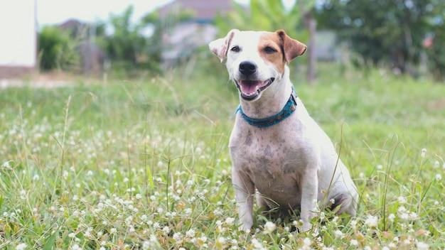 Cão de ack russell que senta-se na grama.