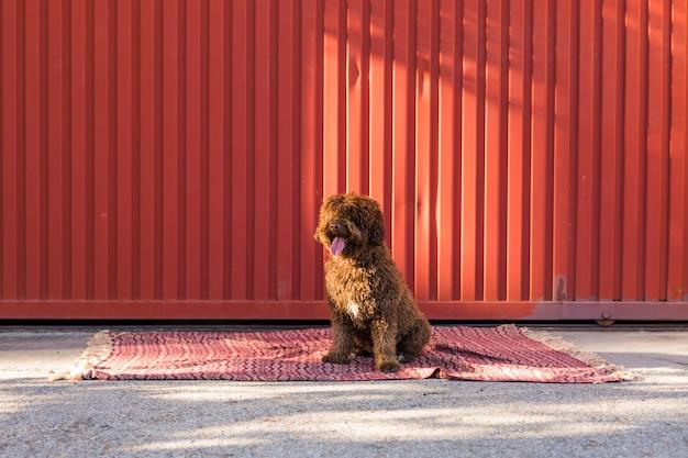 Cão de água espanhol isolado de brown sobre o fundo vermelho.