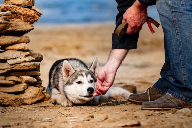 Cão de alimentação. cão husky siberiano