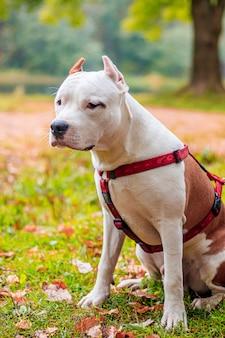 Cão de amstaff em uma caminhada no parque. cachorro grande. cachorro brilhante. cor clara. animal de estimação em casa.