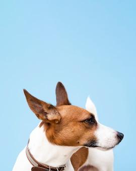 Cão de ângulo alto com orelhas picadas