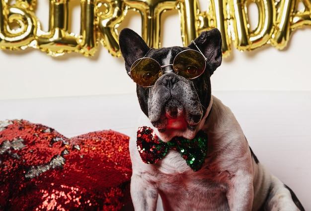 Cão de aniversário - buldogue francês com gravata borboleta colorida e óculos em fundo branco.