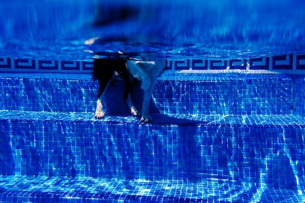 Cão de border collie engraçado parado na piscina durante o dia, o horário de verão e o conceito de férias. visão subaquática