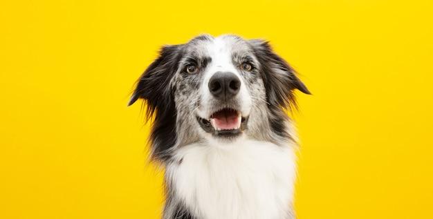 Cão de border collie feliz do retrato olhando para a câmera. isolado em uma superfície de cor amarela.