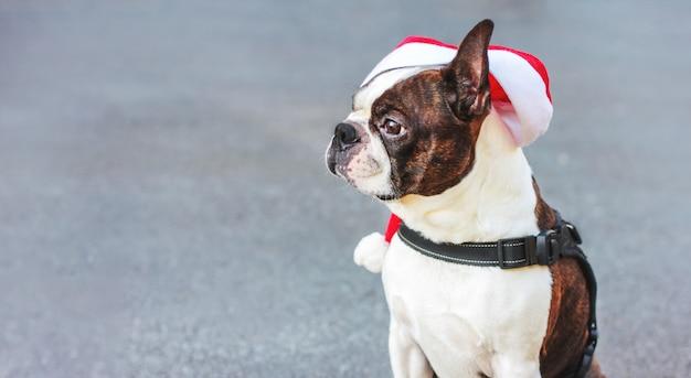 Cão de boston terrier cachorro fofo chapéu sentado no fundo cinza, banner