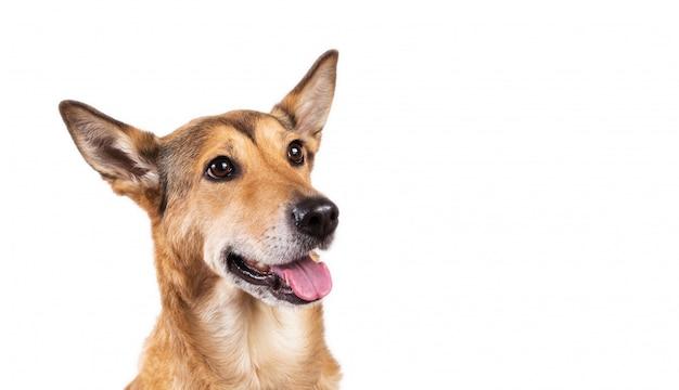 Cão de cabelo vermelho sentado, olhando para a câmera, isolada no branco