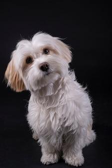 Cão de cabelos brancos maltês bichon olhando para a frente em uma parede preta