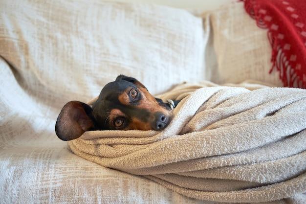 Cão de caça grego acomodado confortavelmente sob a toalha