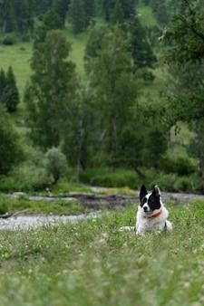 Cão de caça na floresta. o oeste da sibéria laika está contra o pano de fundo de uma floresta e um riacho na montanha