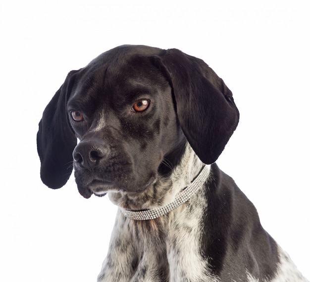Cão de caça preto e branco com colar com strass