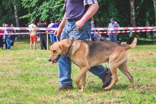 Cão de caça russo na coleira perto de seu dono durante a exposição de cães