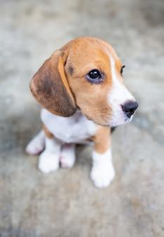 Cão de cachorrinho bonito do lebreiro que senta-se no assoalho.
