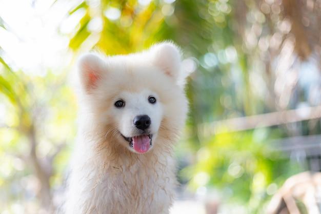 Cão de cachorrinho branco do samoyed ao ar livre no parque. retrato, de, samoyed, ficar, ligado, a, capim, em, a