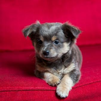 Cão de cachorrinho de chihuahua longo cabelo cinzento sentado no vermelho